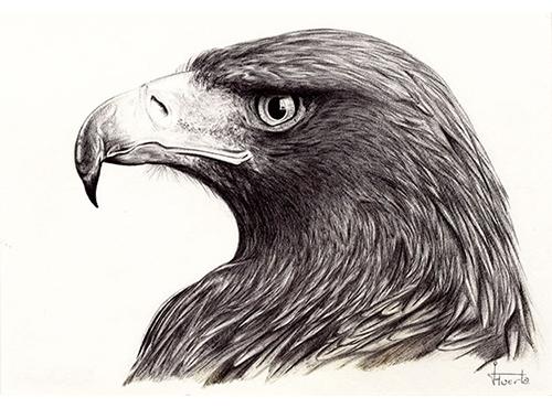 proceso de dibujo del águila 6