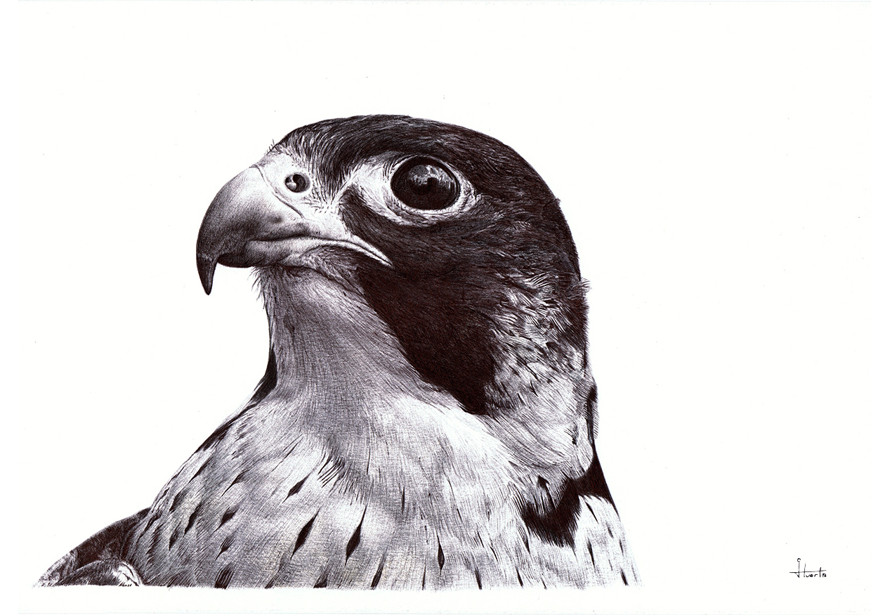 peregrine_hawk ballpoint pen drawing
