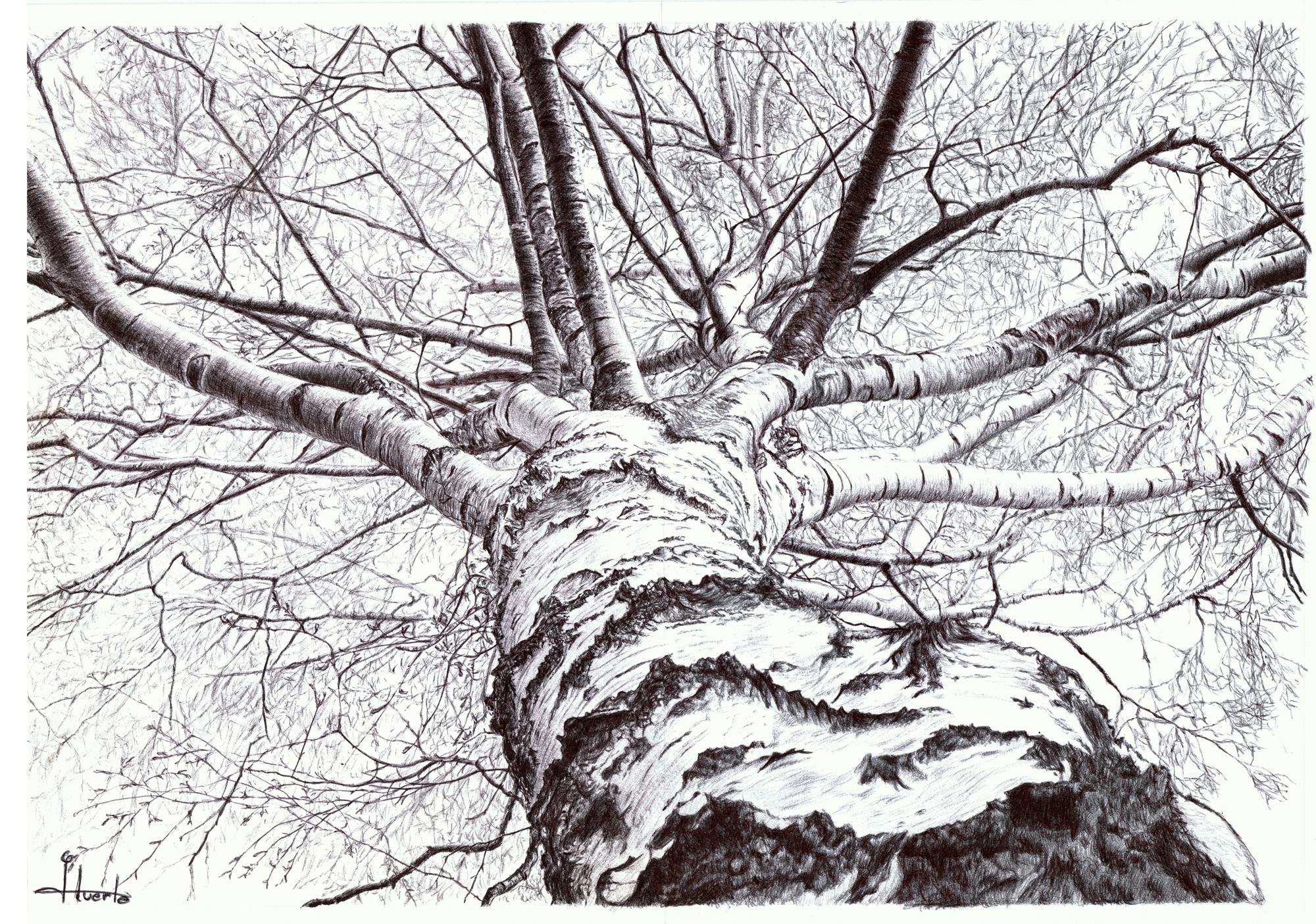 birch drawing